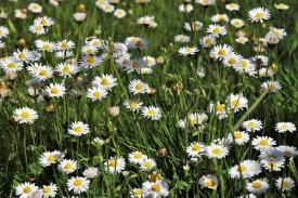 daisies-3354865_960_720