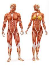 varón-y-sistema-musculoesquelético-femenino-28737364
